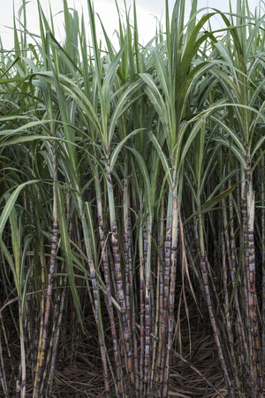 Sugar cane plantations in the Mekong Delta in southern Vietnam