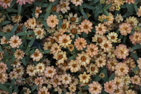 Top view of a parterre of small pastel orange and white flowers.