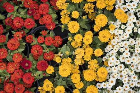 Top view of a parterre of red, white, and yellow small flowers.