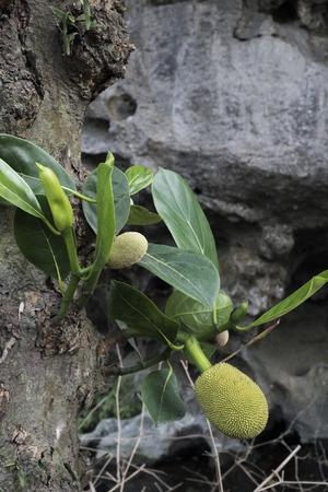 Jack fruits growing on tree in Vietnam