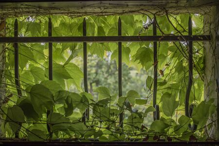 Virginia creeper in small window with cast iron bars