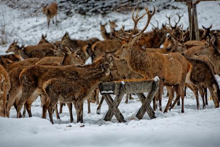 Deers in winter. Stock Photo