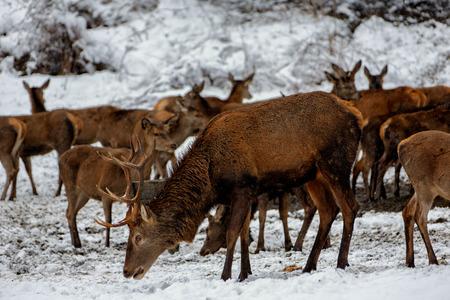 Deers in winter. Imagens