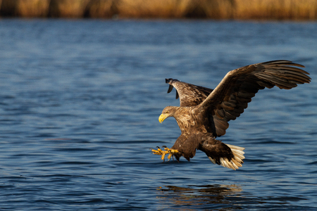 White - tailed eagle in flight. 版權商用圖片
