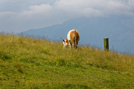 Cow in the pasture - Austria.