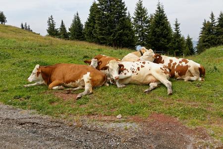 Cow in the pasture - Austria.
