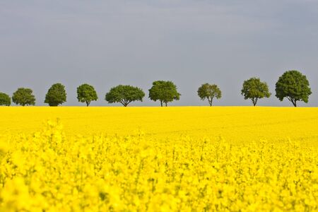 Colorful canola field in Bavaria