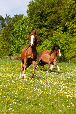 Stallions gallop on a colorful meadow