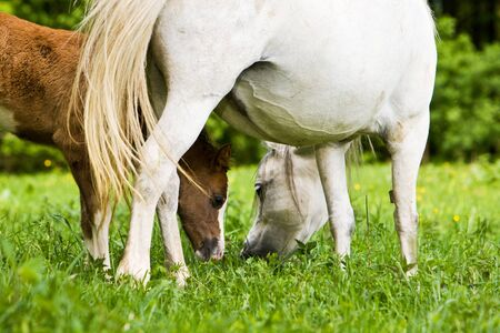 affability: A foal is grazing between mothers legs