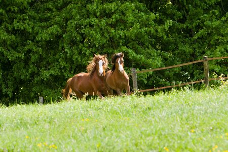 Two horses galloping towards camera photo