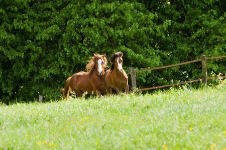 affability: Two horses galloping towards camera Stock Photo