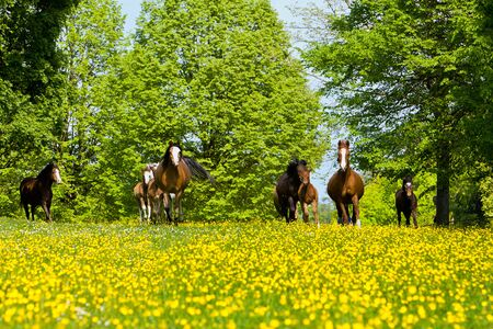 A pony herd runs on a yellow field
