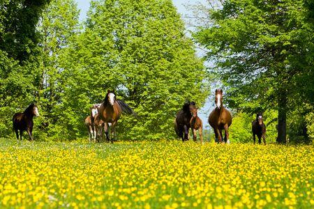 affability: A pony herd runs on a yellow field