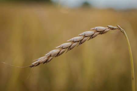 bce: Spelt Triticum spelta, also known as dinkel wheat or hulled wheat is a species of wheat cultivated since 5000 BCE