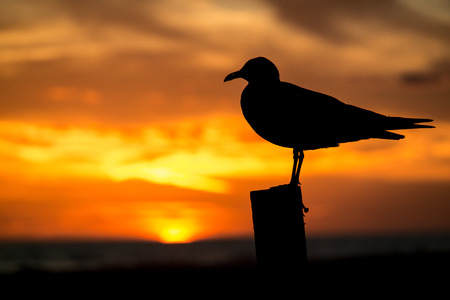 Seagull at Sunset on Pensacola Beach