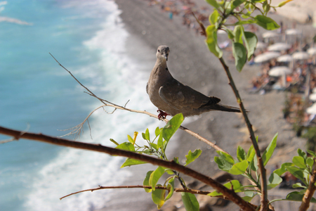 turtle dove: Ring-Necked Dove. Mediterranean Sea in the Background