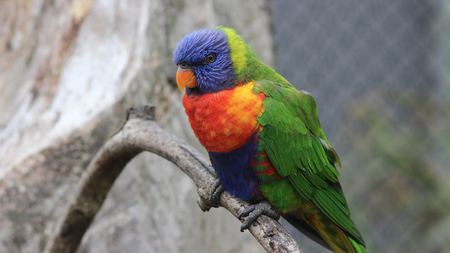 multicolored eye macro: Colorful Rainbow Lorikeet Parrot perched on a Branch