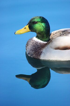 Male Mallard Duck in Water with Reflection. Bird Close-up