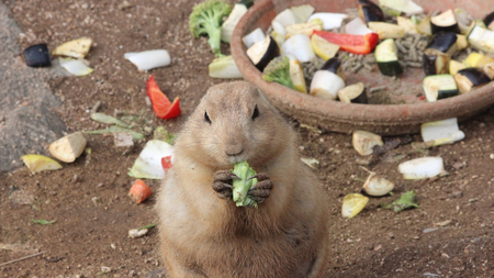 zoo as: Prairie Dog Eating Lettuce Stock Photo