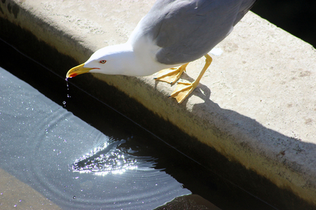 seagull: Wild Seagull Drinking water in a Fountain in Nice, France