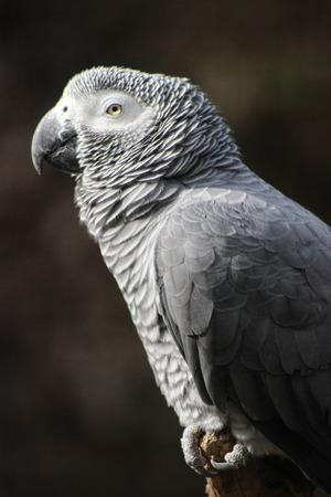 erithacus: African Grey Parrot (Psittacus Erithacus)