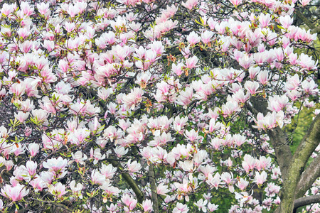magnolia branch: Pink Magnolia Flowers on Tree Branch Stock Photo