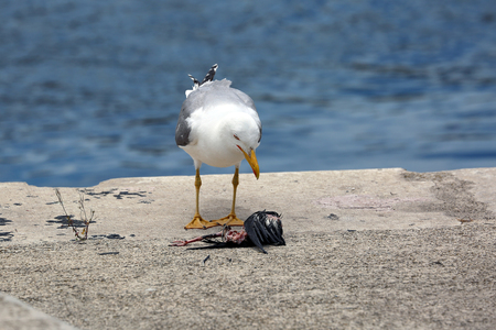 animal cruelty: A Hungry Gull Watching a Dead Bird on the Floor