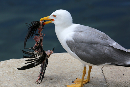 animal cruelty: Closeup of a Seagull Holding a Dead Bird in its Beak