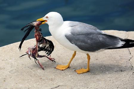 Closeup of a Seagull Holding a Dead Bird in its Beak