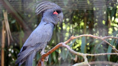 Palm Cockatoo Black Parrot Closeup (Probosciger Aterrimus)