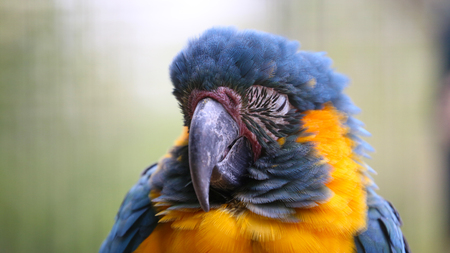 Blue and Yellow Macaw Sleeping - Closeup Portrait