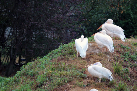 great white pelican: Great White Pelican (Pelecanus Onocrotalus) In The Summer Rain Stock Photo