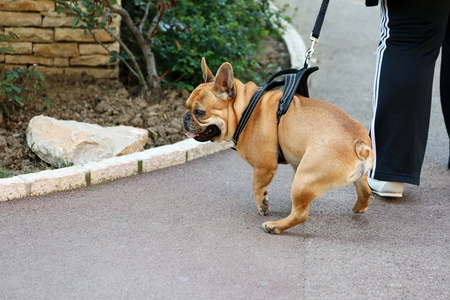 Close Up Portrait Of A Beautiful French Bulldog Dog Wearing Harness In Monaco 스톡 콘텐츠