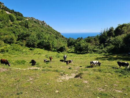 Beautiful Cows And Calves Grazing In The Meadow In The Mountains In The Alpes-Maritimes, French Alps, France, Europe