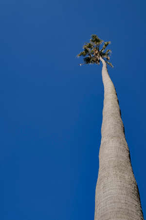 Low angle view of a tall palm tree against a clear blue sunny sky Stock Photo