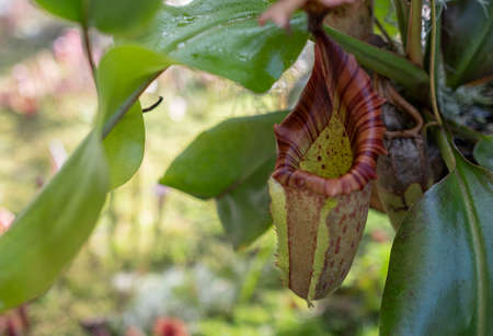 Close up of a pitcher plant display on a sunny day