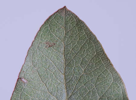 Close up image of acacia leaf against a white background