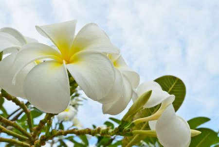 the plumeria flower against the sky Stock Photo