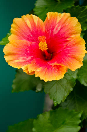 hibisco: Orange Rose chino flor Blooming