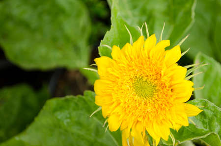 Tournesol Teddy Bear Helianthus annuus photo