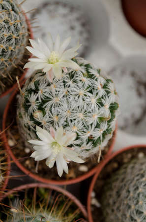 White cactus blooming Stock Photo - 17210927