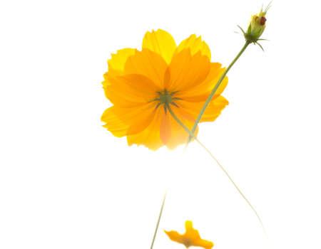 Yellow codmos