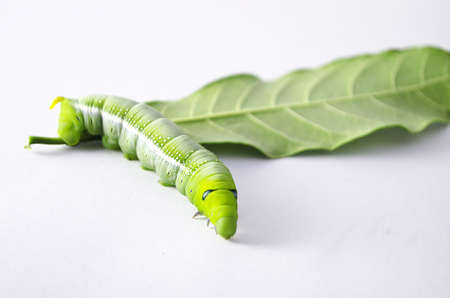Green worm with leaves isolated on white