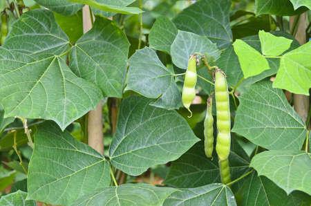 Pachyrhizus erosus Urba  Urban - Jicama or Yam- bean