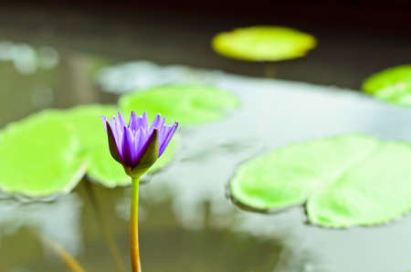 Violet lotus blooming in the pond photo