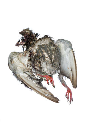 Dead bird body on white background photo