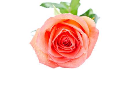 Beautiful orange rose isolate on white background