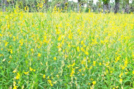 Crotalaria juncea in the field