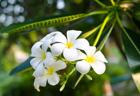 White frangipani flower photo