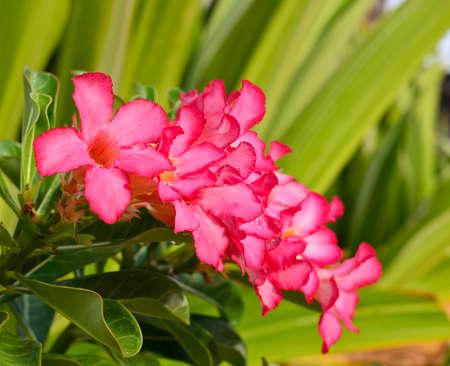 Red Desert Flower, adenium obesum photo
